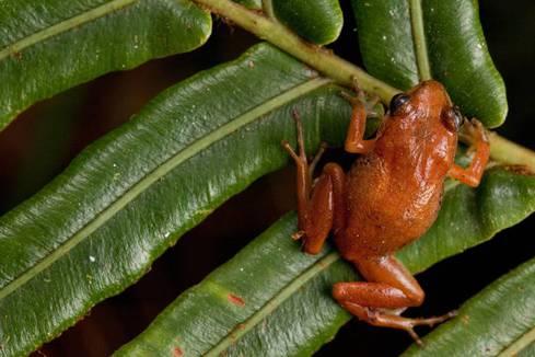 macaya breast spot frog