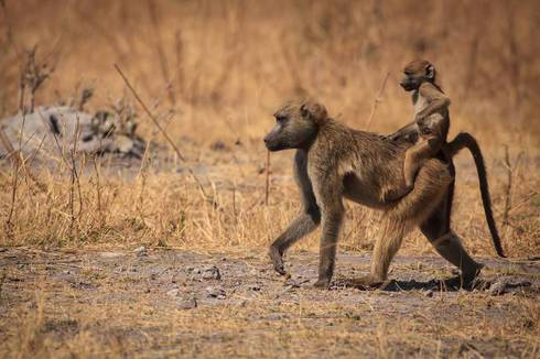 Savanna Baboon/Chacma Babooon